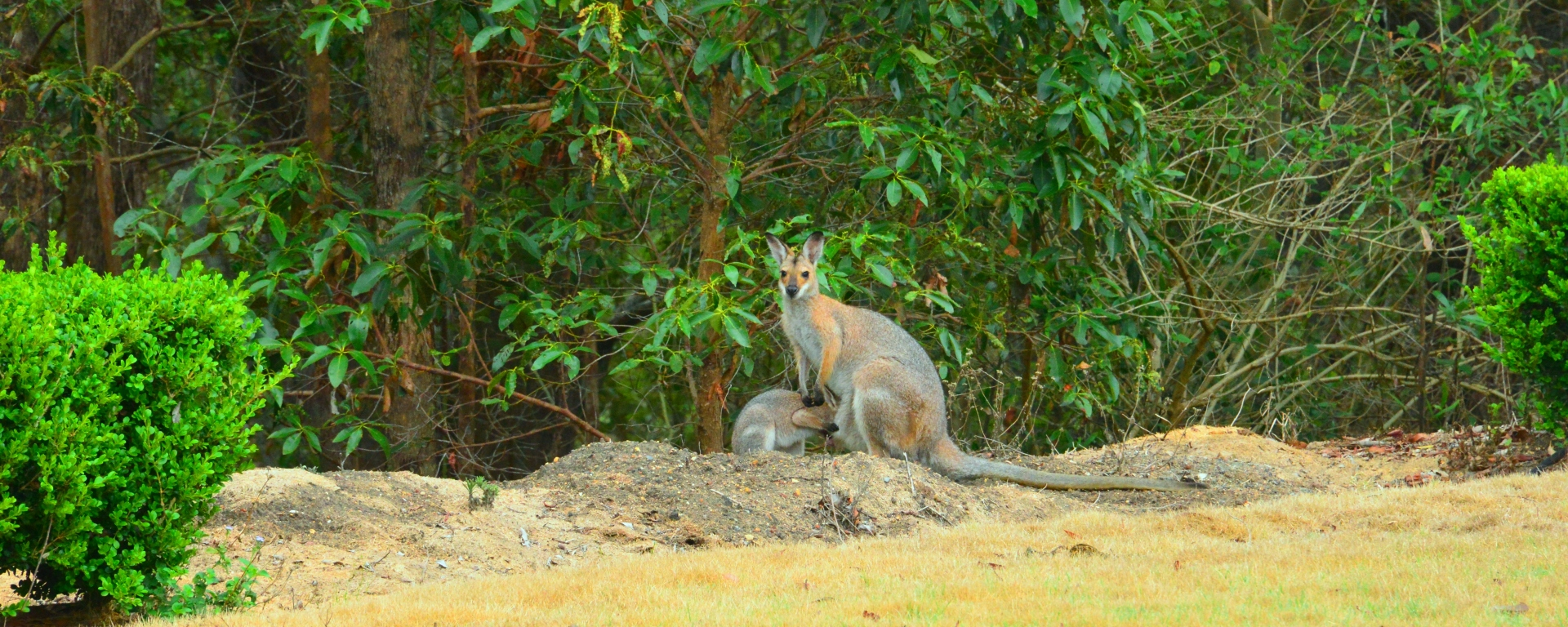 Wallaby and Joey at Armstrong Creek, Queensland, Australia