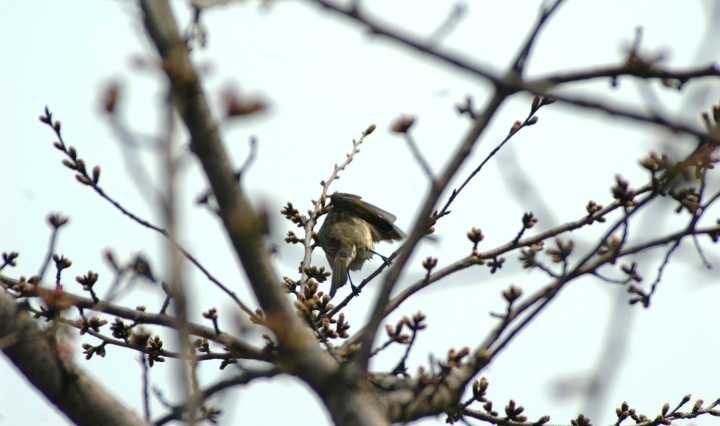 Bird on peach blossom, West Lake 西湖 (West of Shanghai, China)