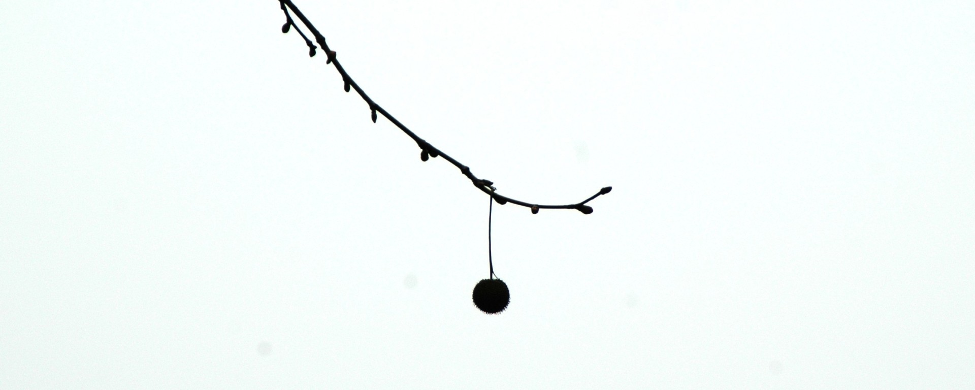 Lone fruit, on a tree Wu Taihu