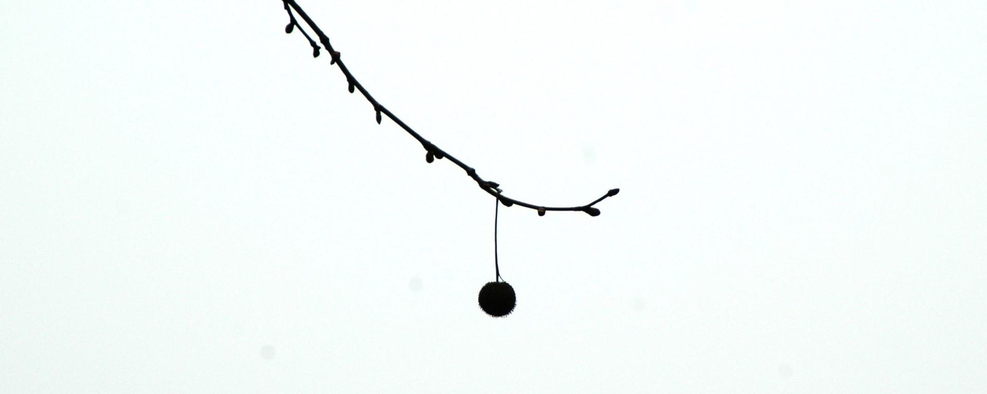 Lone fruit, on a tree Wu Taihu